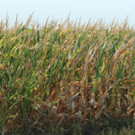 Wordless Wednesday: Our Corn Fields