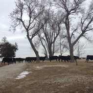 Preparing the Cattle for the Big Snowstorm