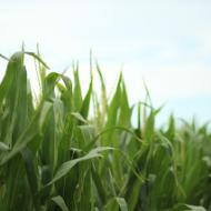 Wordless Wednesday: Corn Update
