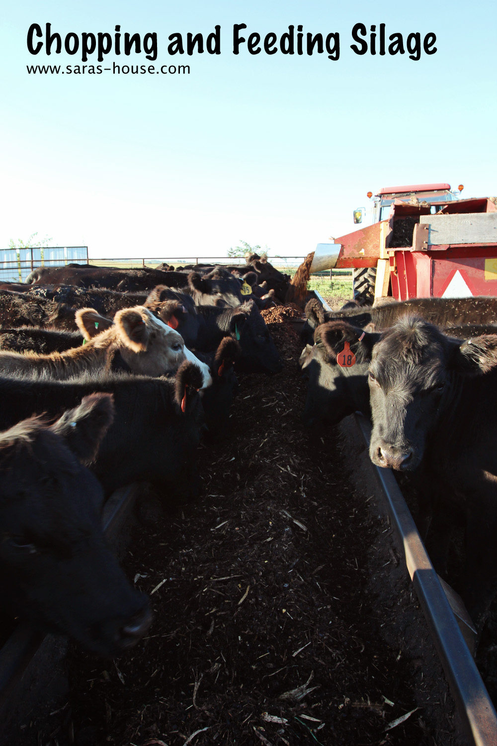 Chopping and Feeding Silage to our Cattle