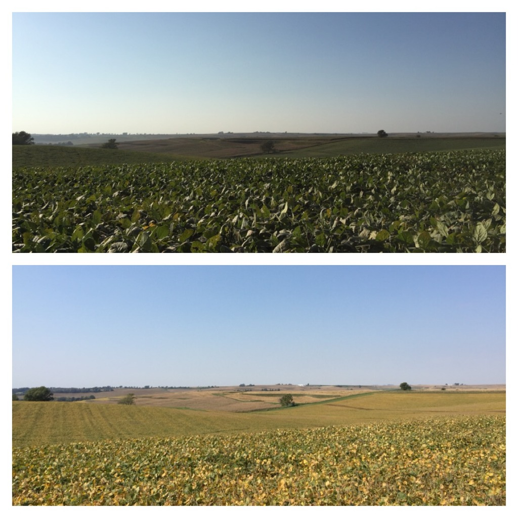 Soybean Crop-10 days difference