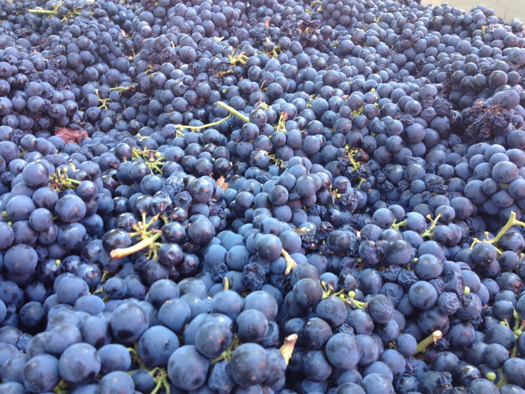 Fresh Picked Organic Grapes in Napa Valley