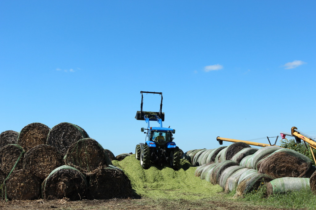 Packing Silage in Pit