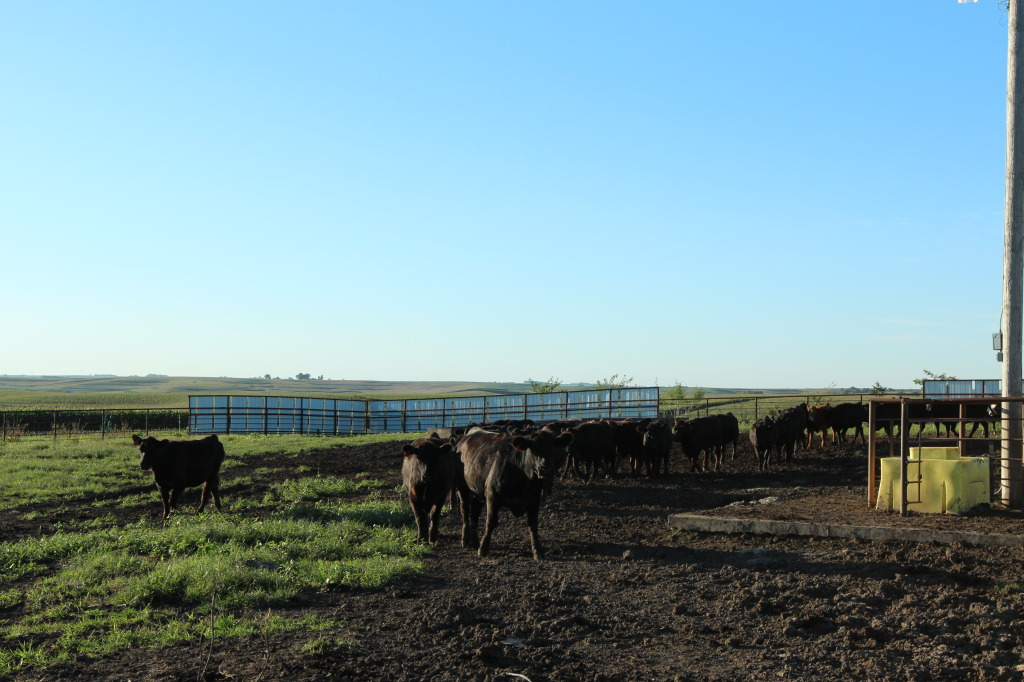Cattle waiting for feed