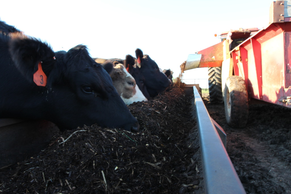 Cattle eating silage mixed with hay