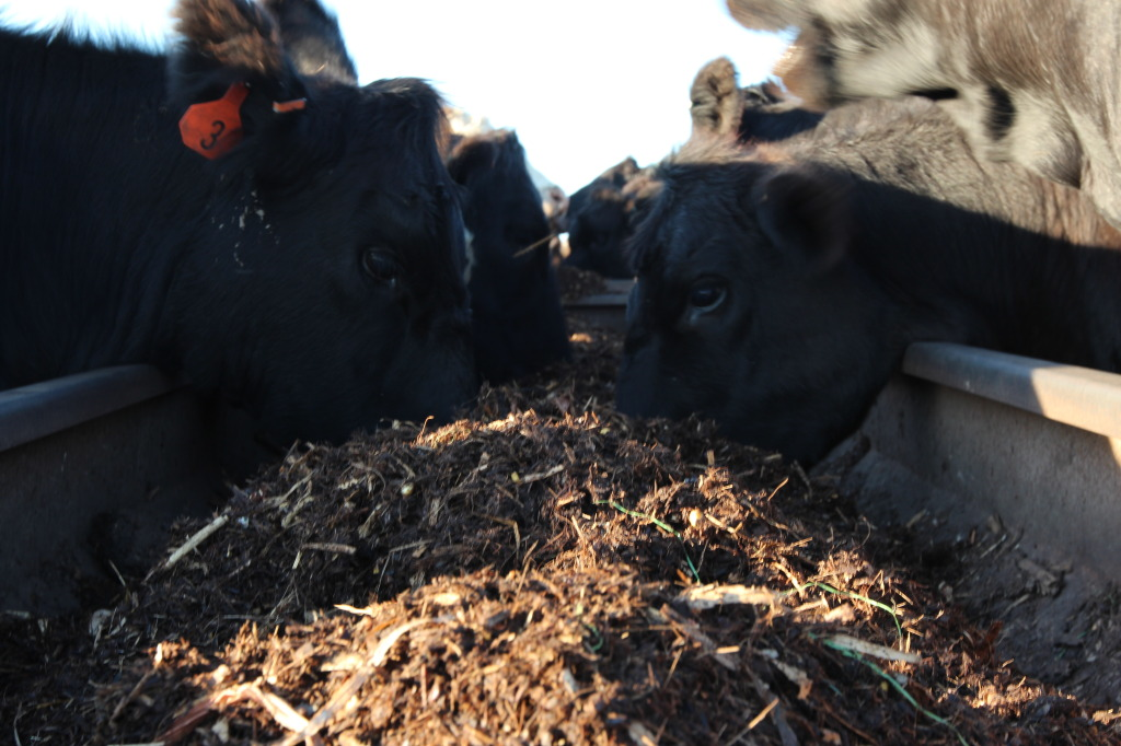 Close-up of Cattle Eating Silage