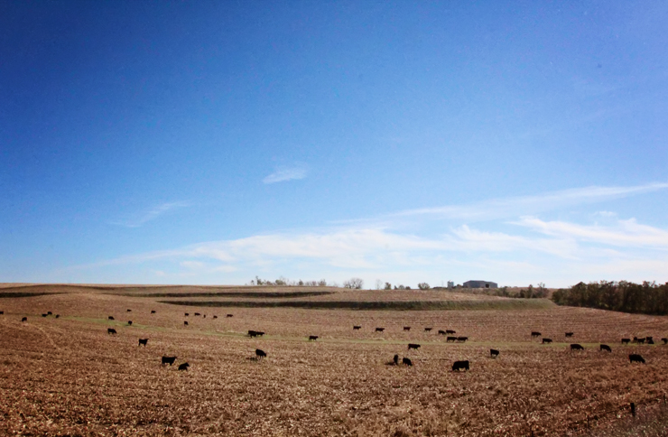 Cattle on Cornstalks