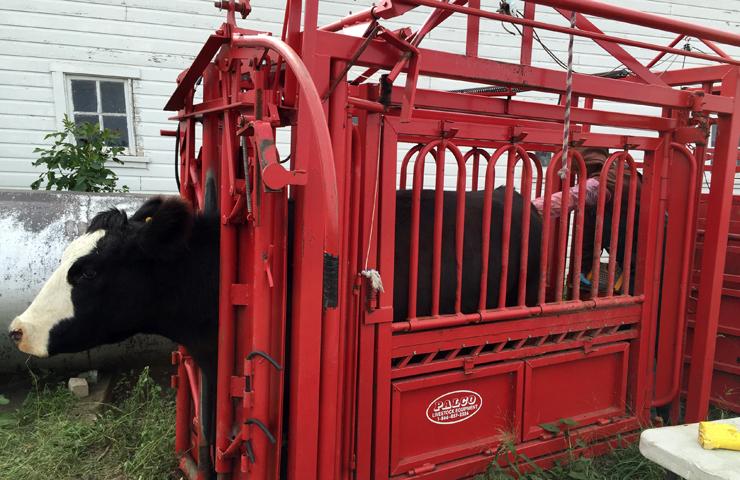 Preg Checking Cattle-www.saras-house.com
