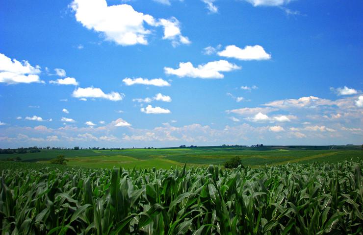 Biotech Corn