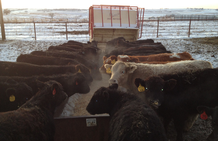 Cattle Eating Biotech Feed
