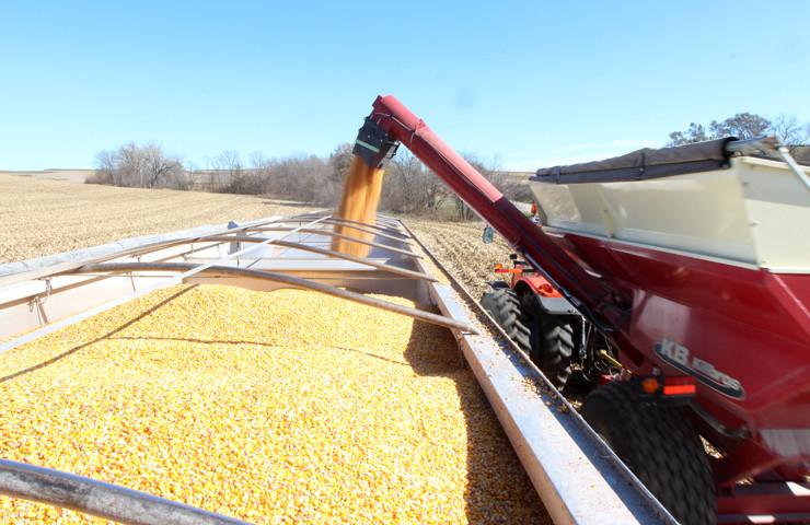 Harvesting Biotech Corn