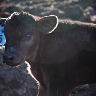 Calf Watch 2015