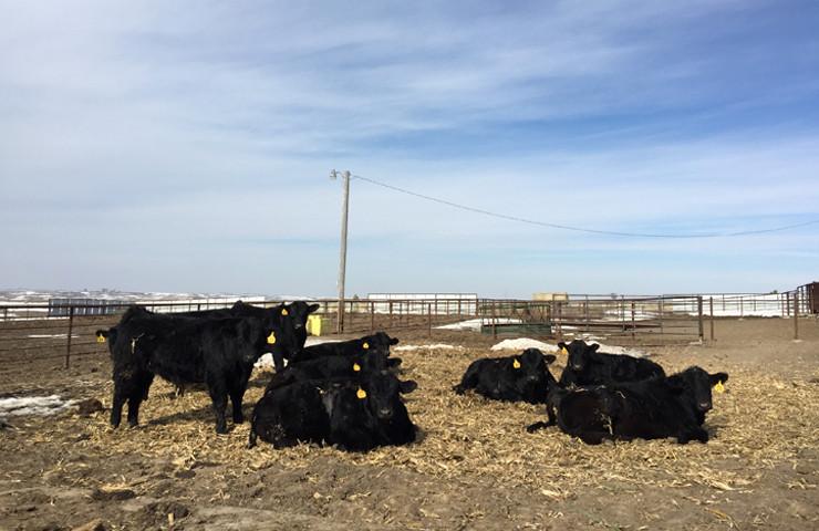 Cows on Cornstalks