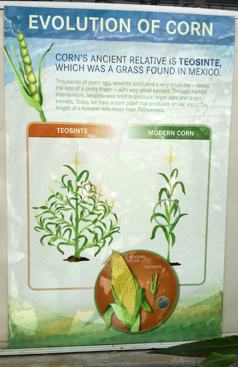 Evolution of Corn at www.saras-house.com