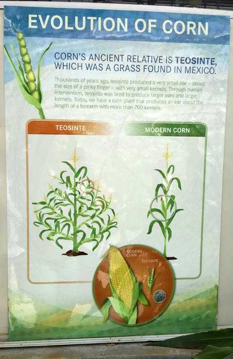Evolution of Corn at www.saras-house.com