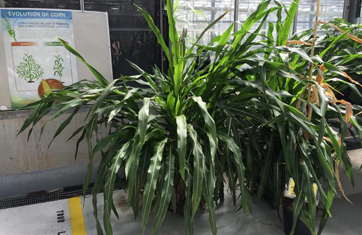 Original Corn Plant at www.saras-house.com