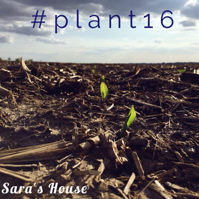 Young Corn Plant at www.saras-house.com