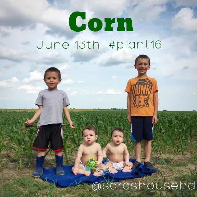 Field Corn on June 13, 2016 at www.saras-house.com