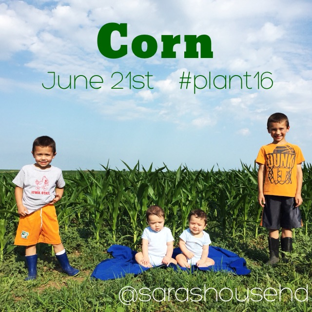 Field Corn on June 21, 2016 at www.saras-house.com
