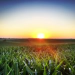 Field Corn with Beautiful Sunset at www.saras-house.com