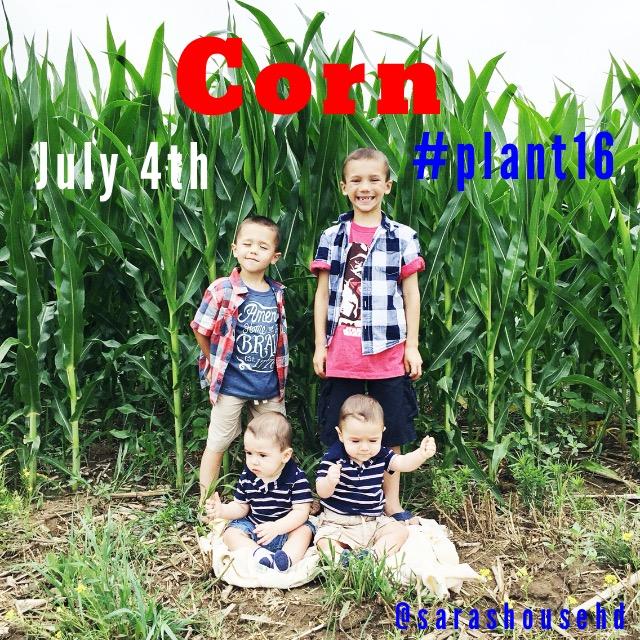 Field Corn on July 4, 2016 at www.saras-house.com