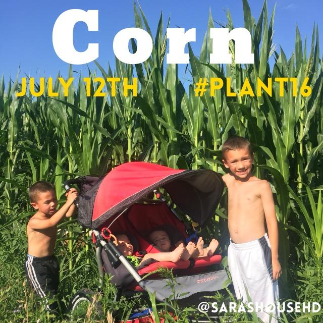 Corn Plants on July 12, 2016 at www.saras-house.com