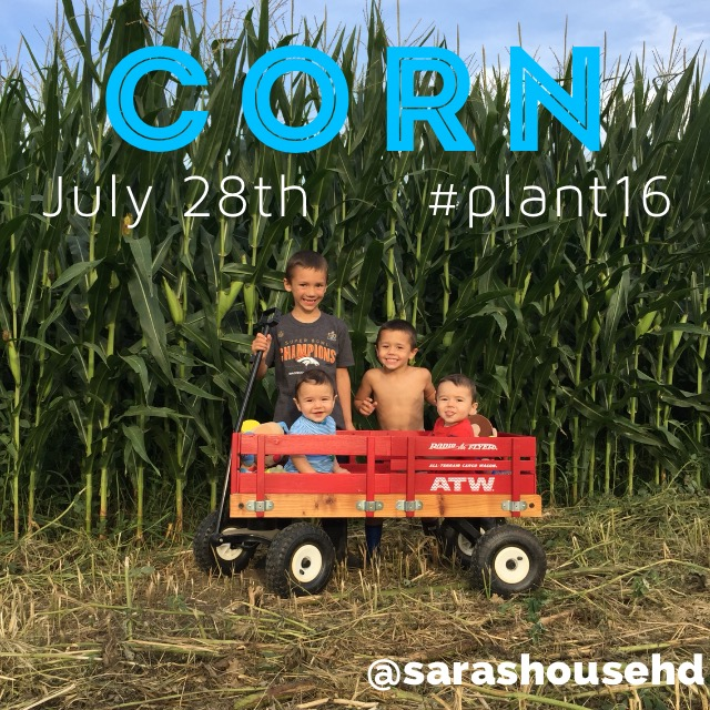 Corn Plants on July 28, 2016 at www.saras-house.com
