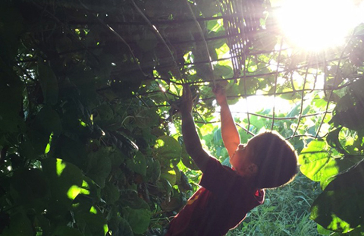 Axten Picking Pole Beans in Tunnel at www.saras-house.com