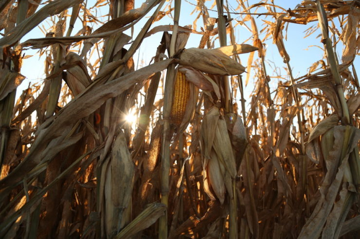 Field Corn Ready to be Harvested